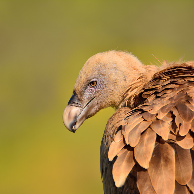"""""""Close-up of griffon vulture head."""" stock image"""