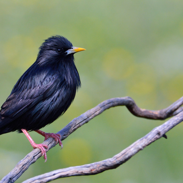 """Spotless starling perched on a branch."" stock image"