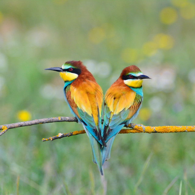 """Couple of bee-eaters on leafless branch"" stock image"