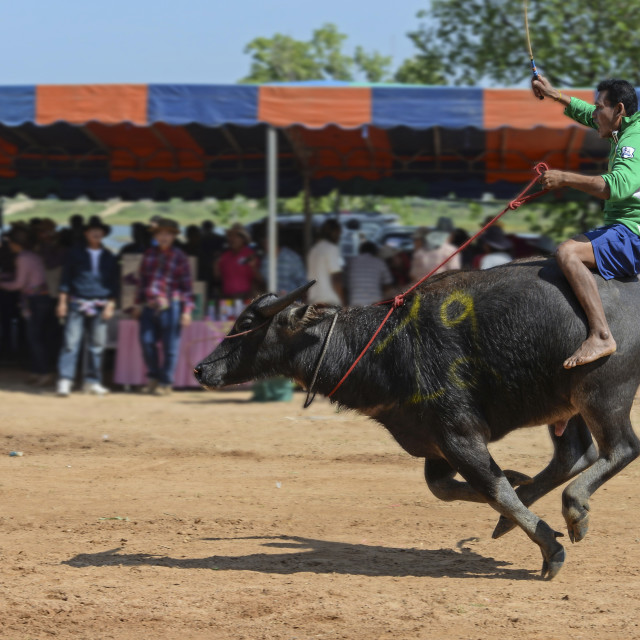 """Buffalo Racing Thailand (I)"" stock image"