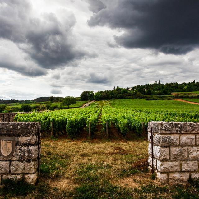 """Vineyard, Bourgogne"" stock image"