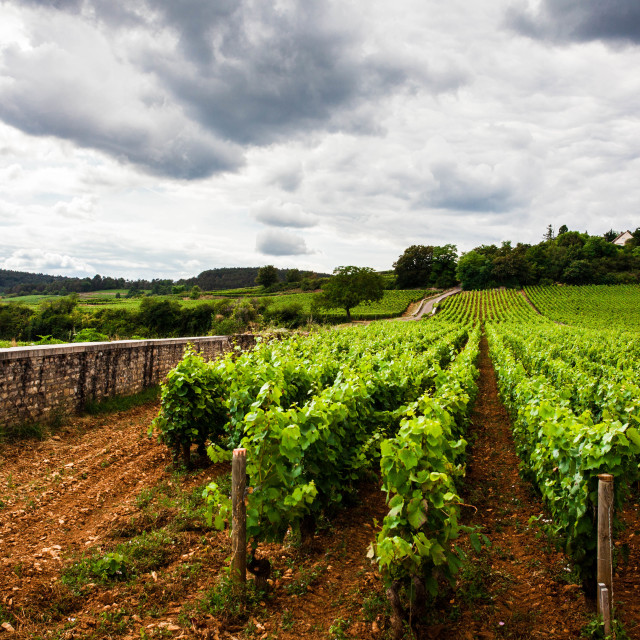"""Vineyard, France"" stock image"