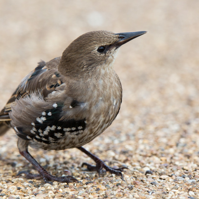 """Juvenile Starling"" stock image"