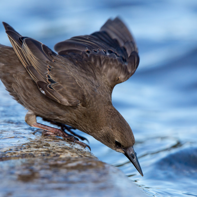 """""""Young Starling"""" stock image"""