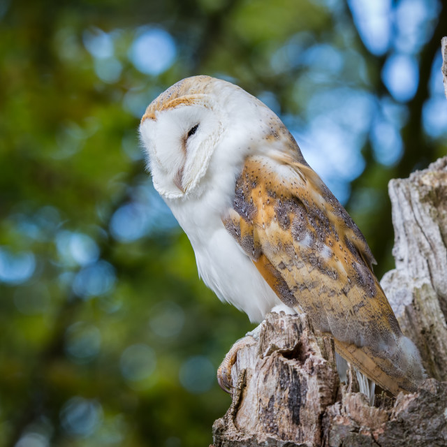 """Barn Owl On Tree Stump"" stock image"