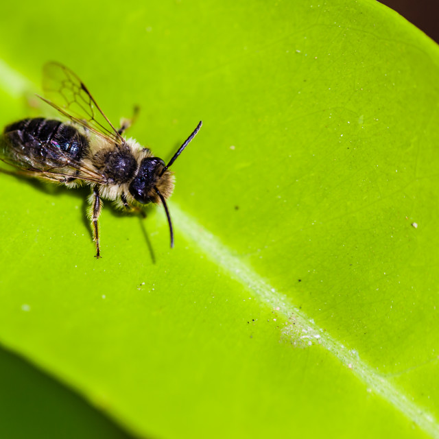 """""""Leaf cutter bee"""" stock image"""