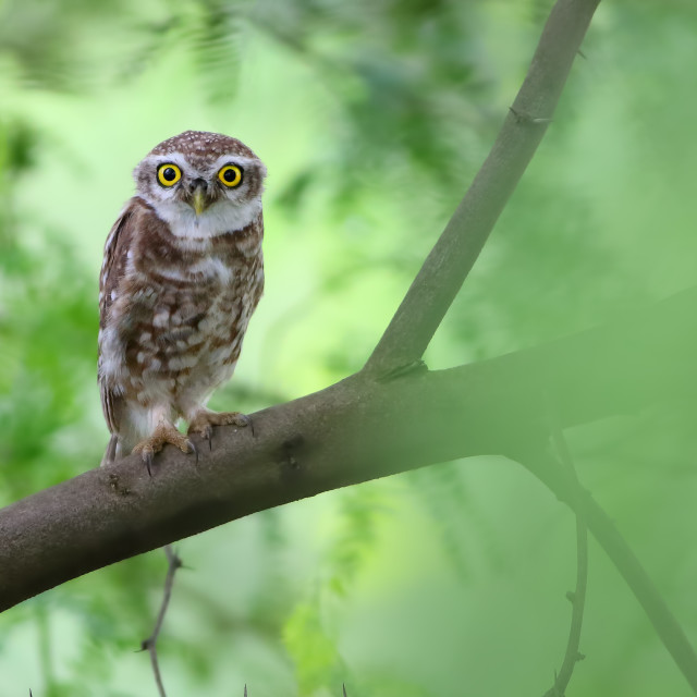 """Spotted owlet"" stock image"