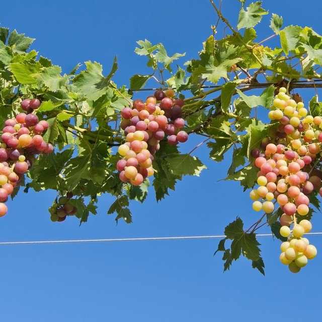 """Ripening grapes on vine Mallorca"" stock image"