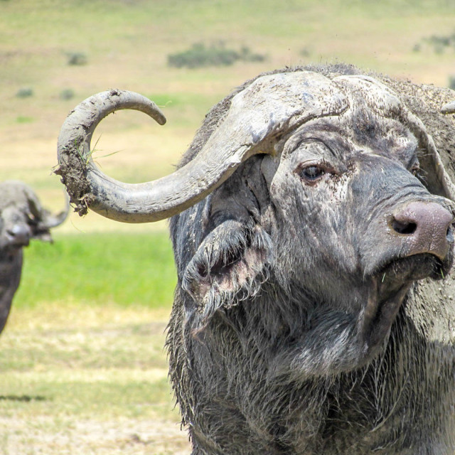 """""""Buffalo look out"""" stock image"""