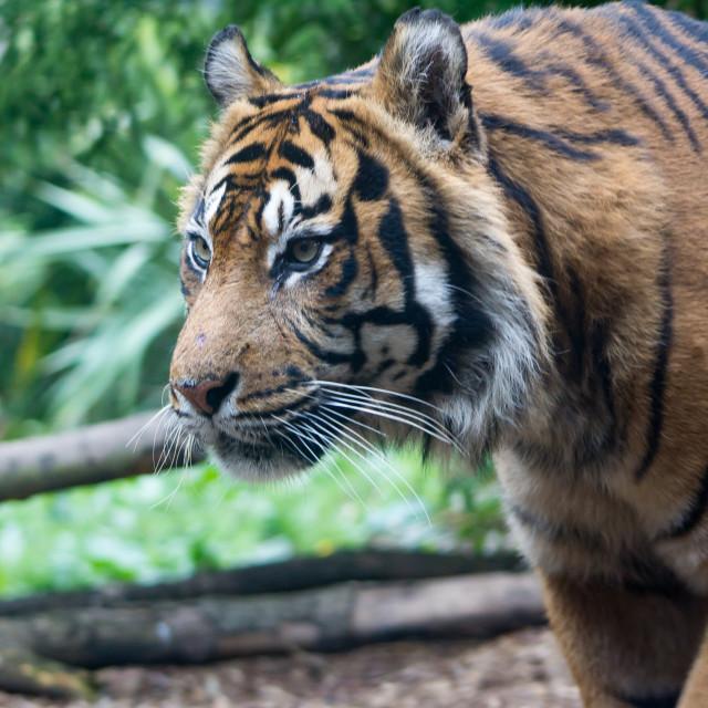 """Tiger Tiger"" stock image"