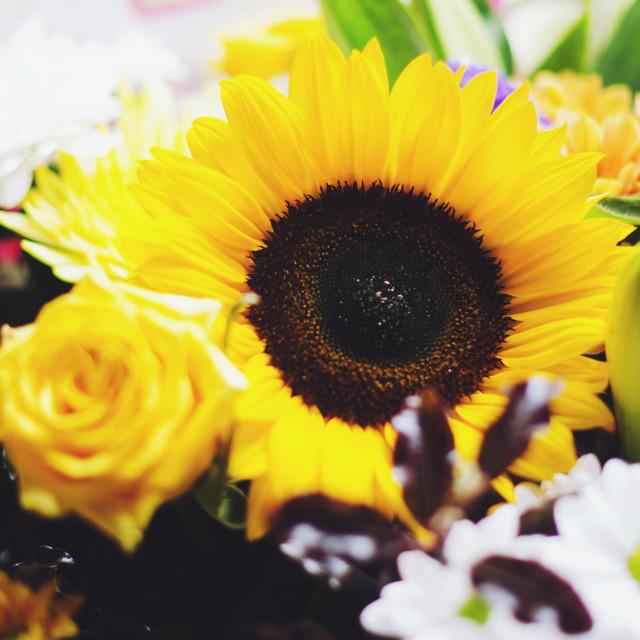 """Perfect Sunflower"" stock image"