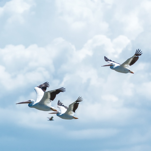 """birds flying with dramatic clouds behind them"" stock image"