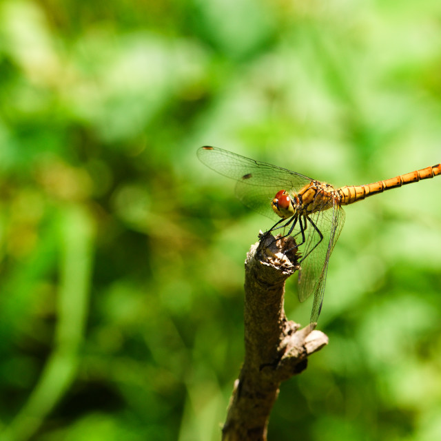 """""""Yellow dragonfly on a dry twig"""" stock image"""