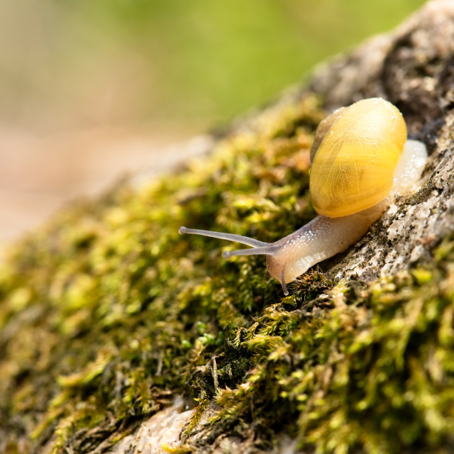 """""""Nice yellow small snail on stone with moss"""" stock image"""