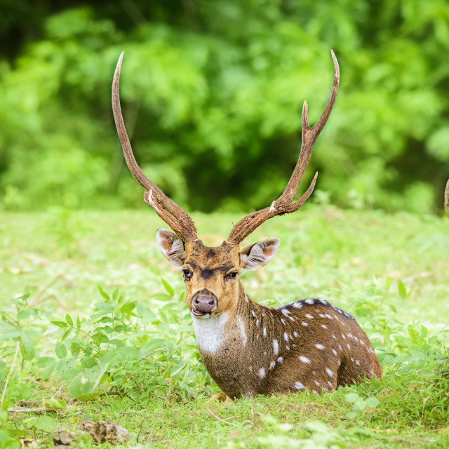 """""""Animal, Indian Spotted Deer, Axis axis in the wild with copy space"""" stock image"""