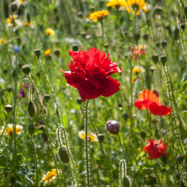 """""""Poppy in meadow"""" stock image"""