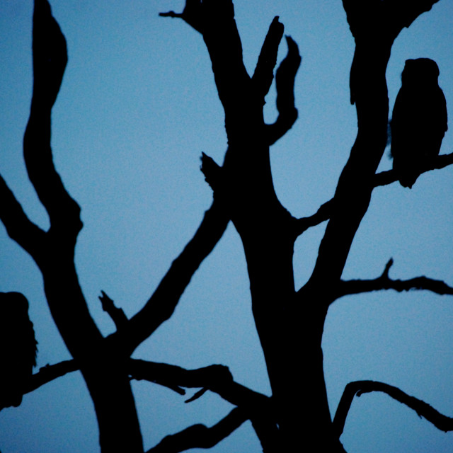 """Owls in line"" stock image"