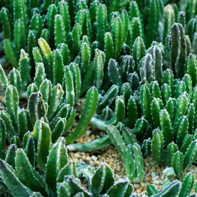 """Domestic prickly cactus closeup seen in Singapore"" stock image"