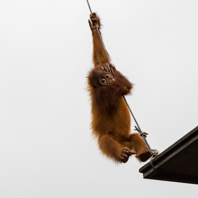 """""""Orang Utans exclusively Asian species"""" stock image"""
