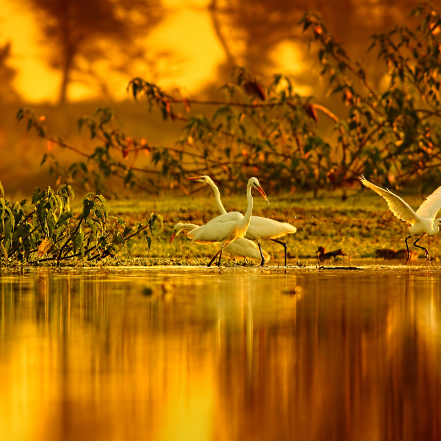 """Great Egrets Hunting"" stock image"