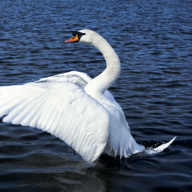 """Dances with Swans"" stock image"