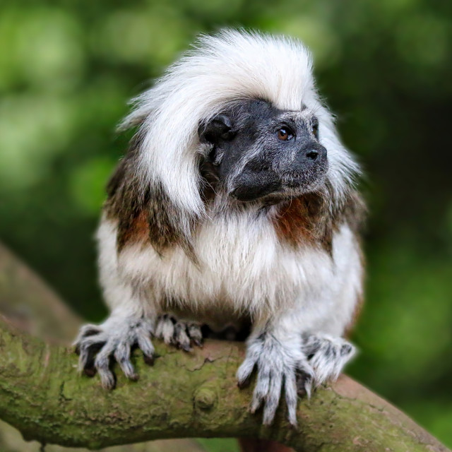 """Cotton top Tamarin"" stock image"