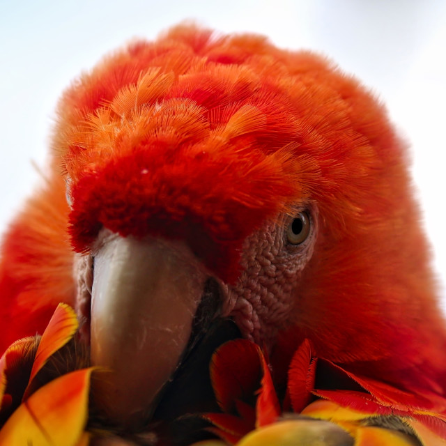 """Red Head Macaw"" stock image"