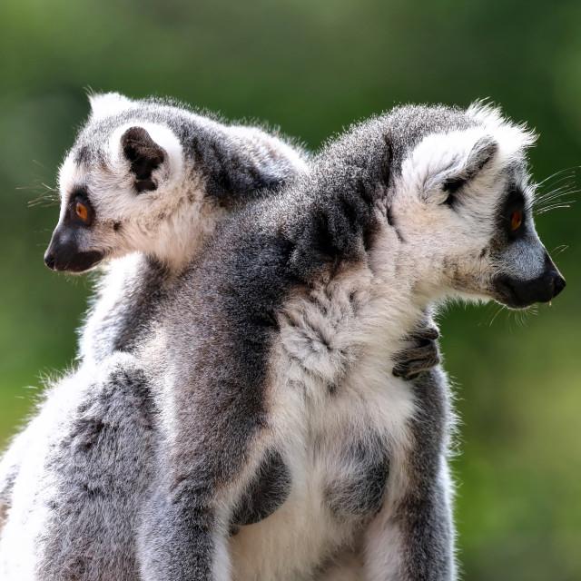 """Pair of Lemurs"" stock image"