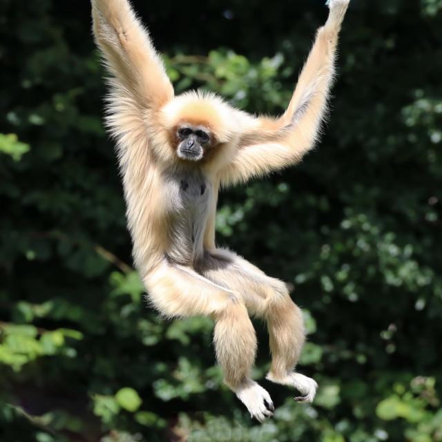 """""""White Handed Gibbon"""" stock image"""