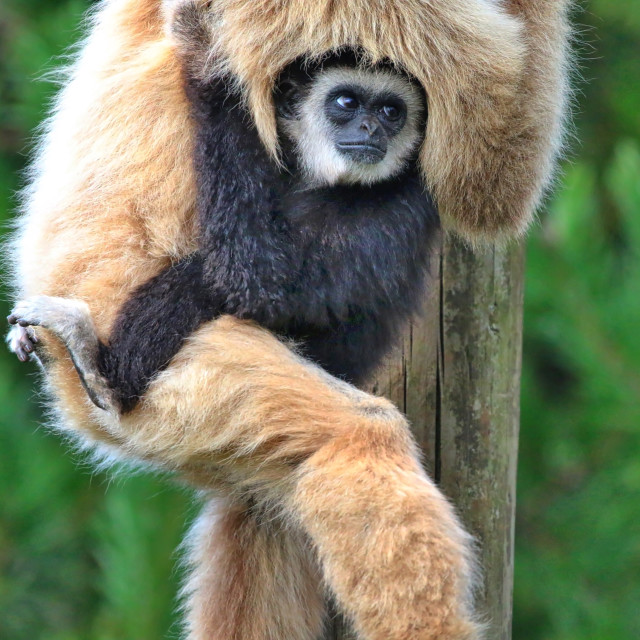 """White Handed Gibbon with baby"" stock image"