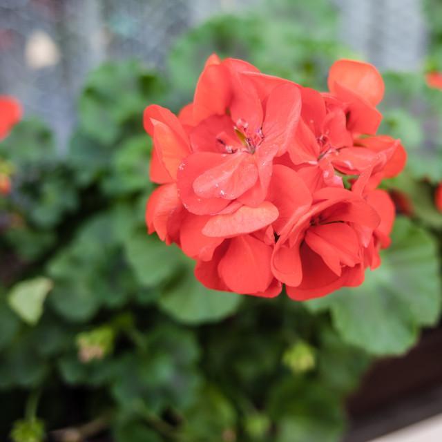"""""""Red geranium"""" stock image"""