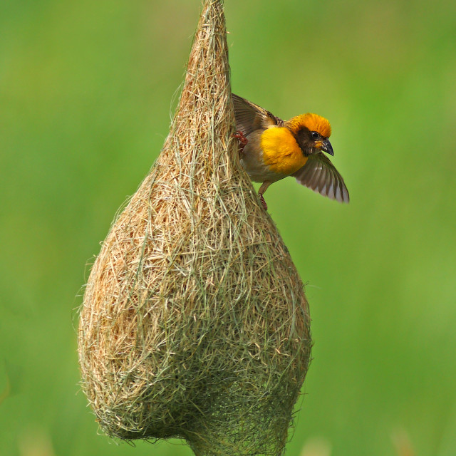 """Baya Weaver With nest"" stock image"