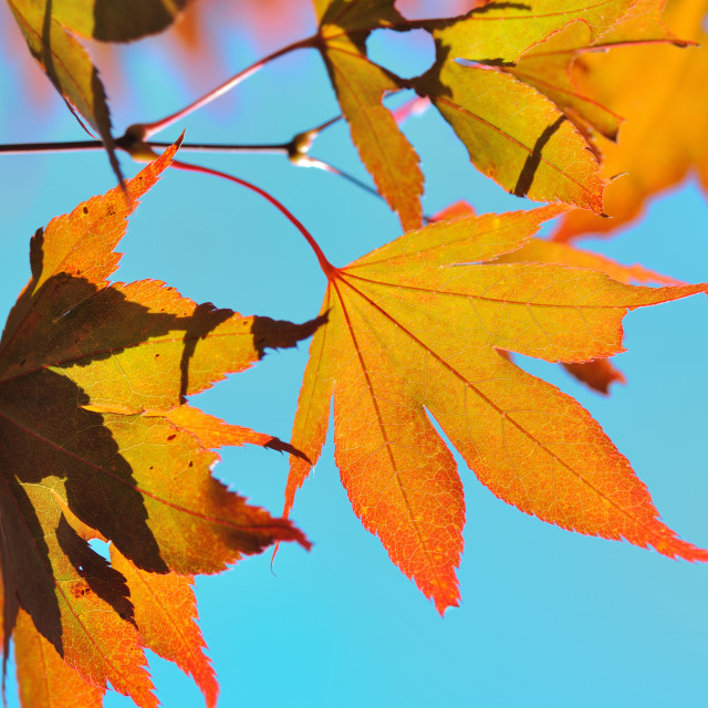 """foliage of a maple japan"" stock image"