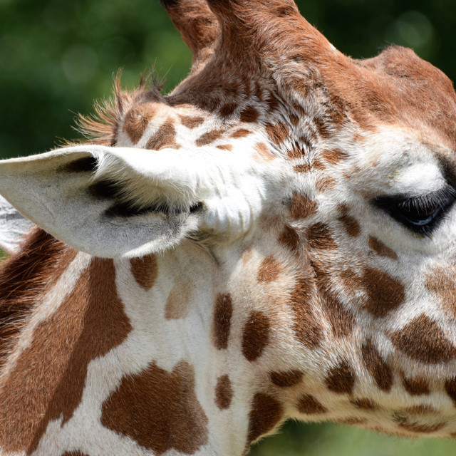 """Side view close up of giraffe's head"" stock image"