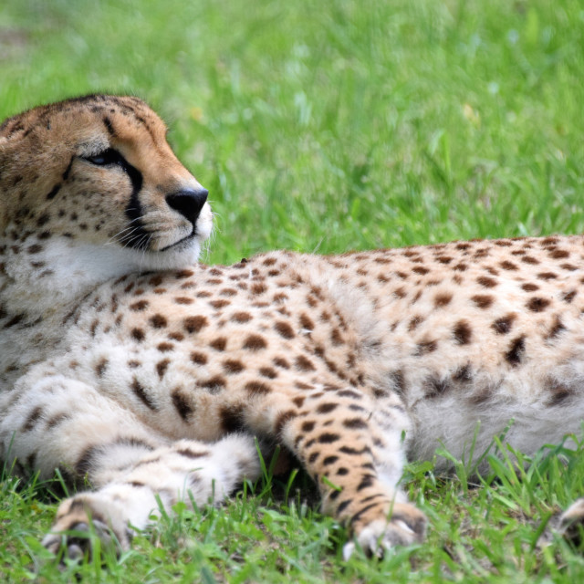 """Cheetah rests in green grass"" stock image"