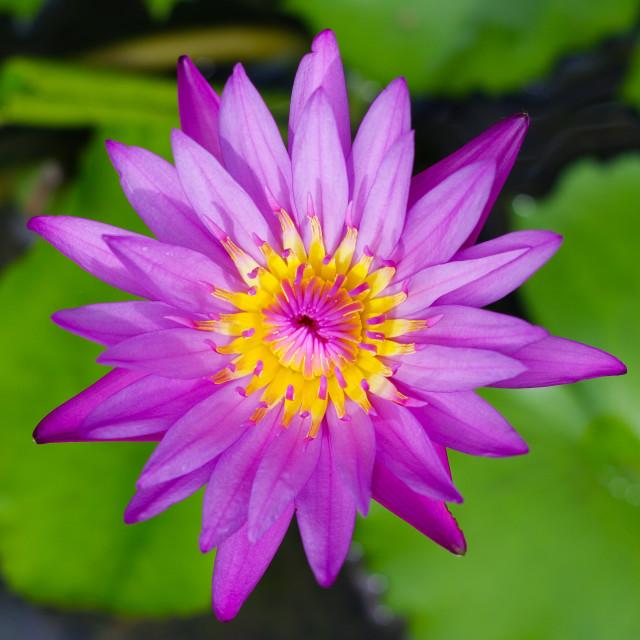 """""""Nice purple waterlily"""" stock image"""