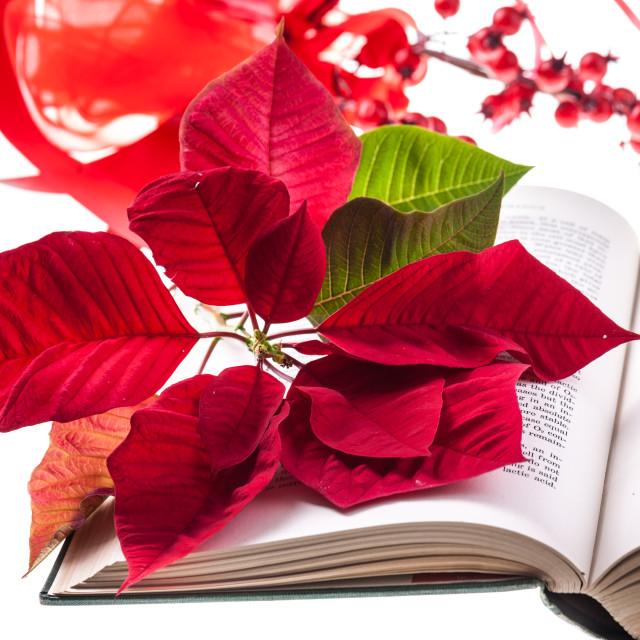"""Poinsettia on bible"" stock image"