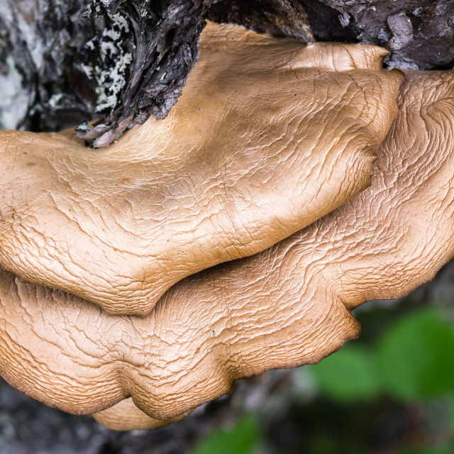 """Mushroom on tree"" stock image"