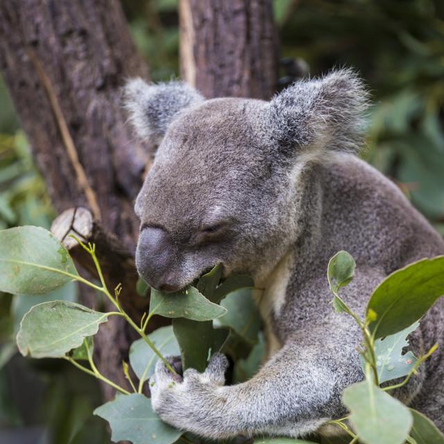 """Koala at lunch"" stock image"