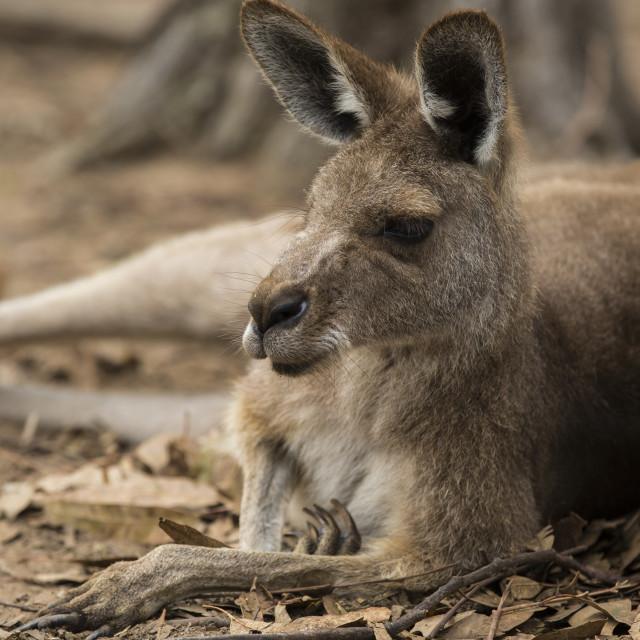 """""""Resting kangaroo"""" stock image"""