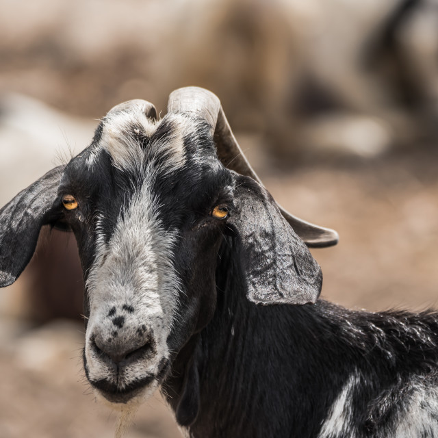 """goat portrait"" stock image"