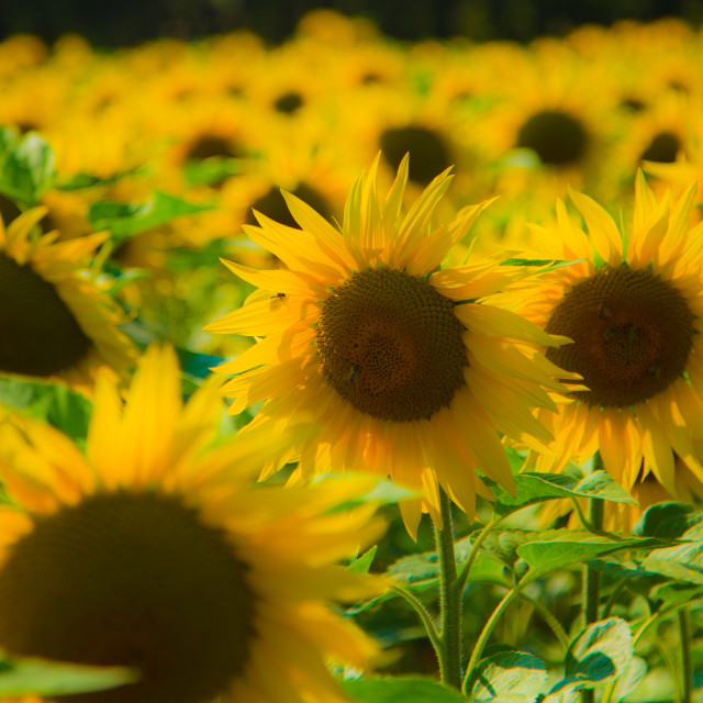 """Sun Flowers"" stock image"