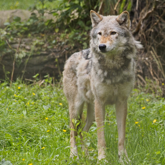 """Grey wolf"" stock image"
