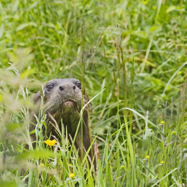 """Giant Otter"" stock image"