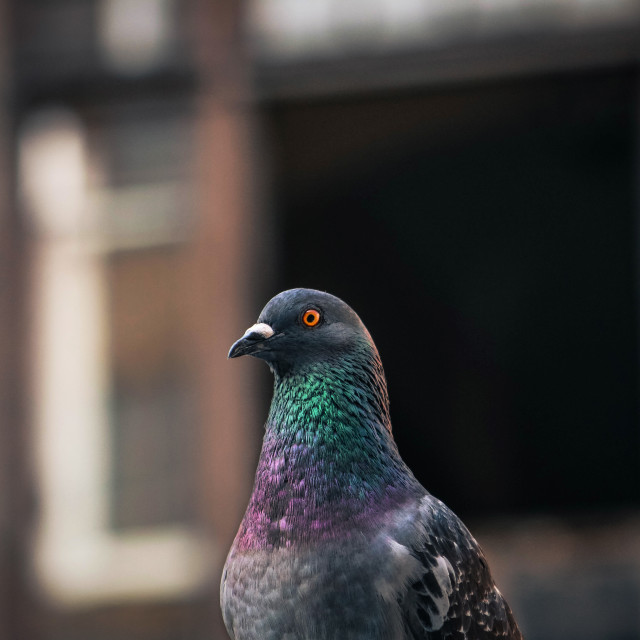 """""""A portrait of a pigeon"""" stock image"""