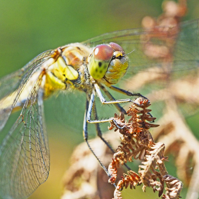 """Dragonfly"" stock image"