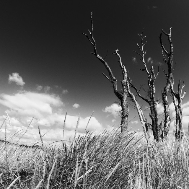 """Tentsmuir Beach Trees"" stock image"
