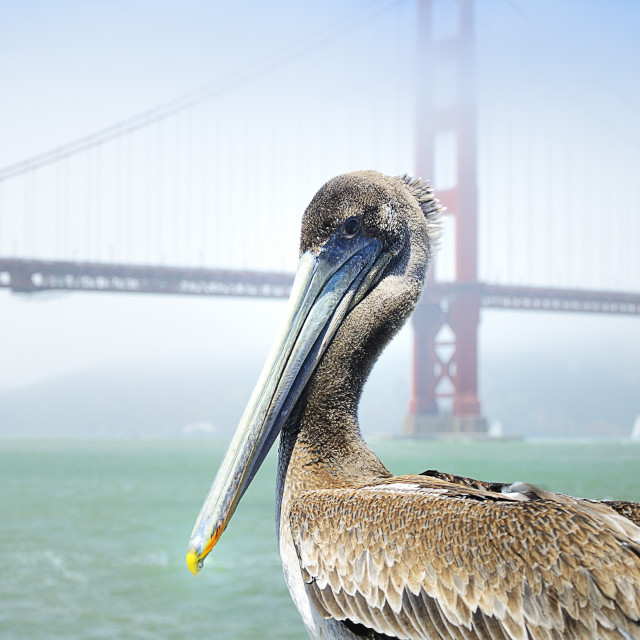 """Pelican at the bridge"" stock image"