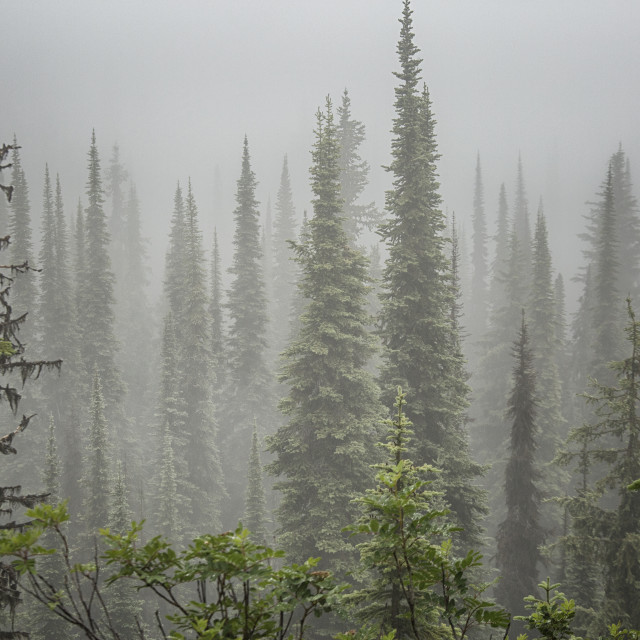 """Cedars in fog"" stock image"