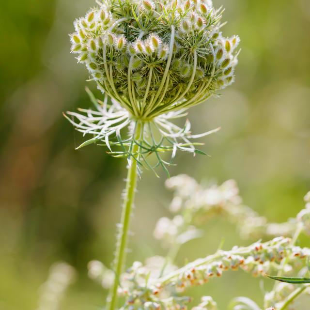 """""""Daucus Carota Flower"""" stock image"""